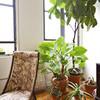 お部屋で観葉植物を目いっぱい楽しもう!