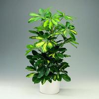 観葉植物カポックの魅力と日常管理