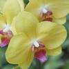 胡蝶蘭を贈り物のギフトとして選ぶ理由・注意点とおすすめ通販サイト