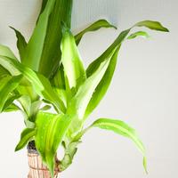 インテリア性抜群!観葉植物ドラセナの育て方と飾り方