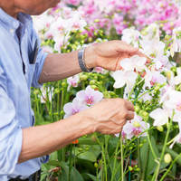 胡蝶蘭が生産者の下で育てられる間の驚きの秘密とは?