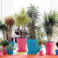 定番観葉植物!ドラセナの種類とおすすめ通販ショップ