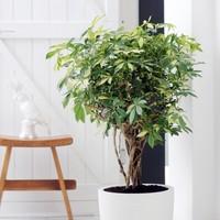 【初心者におすすめ】丈夫な観葉植物トップクラスのシェフレラを知ろう
