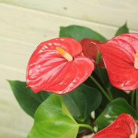 色鮮やかなアンスリウムの花を楽しみましょう!
