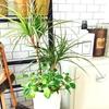 挿し木で丈夫な観葉植物ドラセナを増やす!