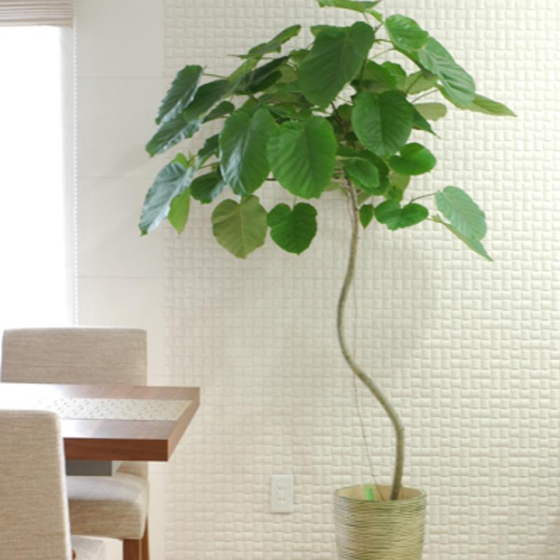 人気観葉植物ウンベラータ