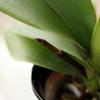 胡蝶蘭の根が伸びてきたら?花芽との見分け方や管理方法!
