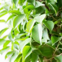 フィカス属の観葉植物その魅力と種類をご紹介!