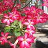 観葉植物「砂漠のバラ」アデニウムの育て方をご紹介