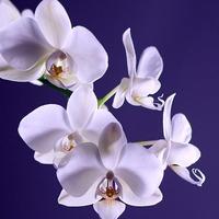 予算5万円で他人と差が付く!胡蝶蘭を贈る際のマナーとおすすめ商品