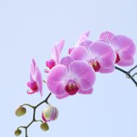 胡蝶蘭の中大輪の魅力を徹底解説!おすすめ21選もご紹介
