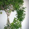 観葉植物の定番フィカスベンジャミンの育て方