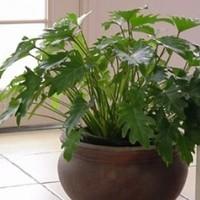 【厳選3つ】通販で購入できる切れ目のある葉がスリムなクッカバラの日常管理・飾り方とマナーも