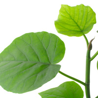 観葉植物ウンベラータをシンボルツリーに!