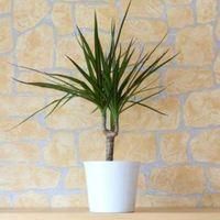 観葉植物コンシンネの種類と育て方