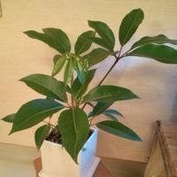 幸せを呼ぶ観葉植物!ツピダンサスの育て方と通販おすすめ3選のご紹介