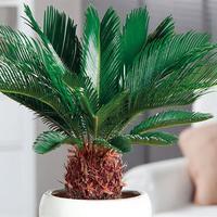 ソテツ(蘇鉄)は太い幹と羽状の葉に南国情緒が漂う素敵な観葉植物