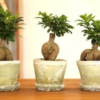 幸せを呼ぶ多幸の木!ガジュマルの育て方と通販おすすめ3選のご紹介