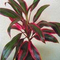 葉色が美しい観葉植物!コルジリネ ターミナリスの育て方と通販おすすめ3選のご紹介