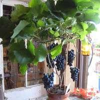 家庭で果樹栽培に挑戦!ぶどうを食べて飾って楽しもう!