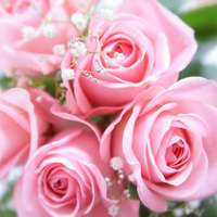 女性にピッタリ!ピンクのバラで生活を楽しもう