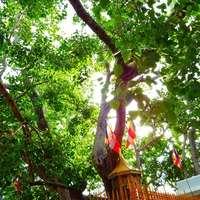 神聖な樹インドボダイジュをインテリアに取り入れよう!