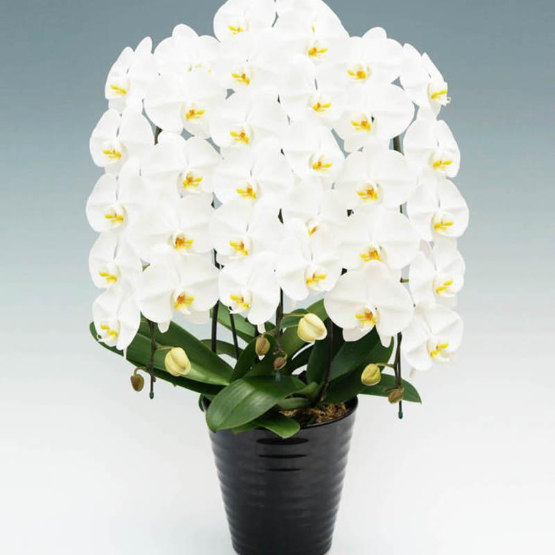 社長就任祝いに胡蝶蘭を贈るマナーや相場と定番紹介