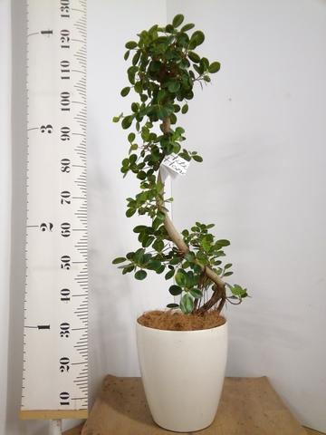 観葉植物 【125cm】【鉢カバー付】パンダガジュマル 8号 曲り #22600