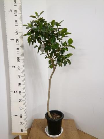 観葉植物 8号 曲り 【150cm】 フランスゴムの木 8号 曲り #22580