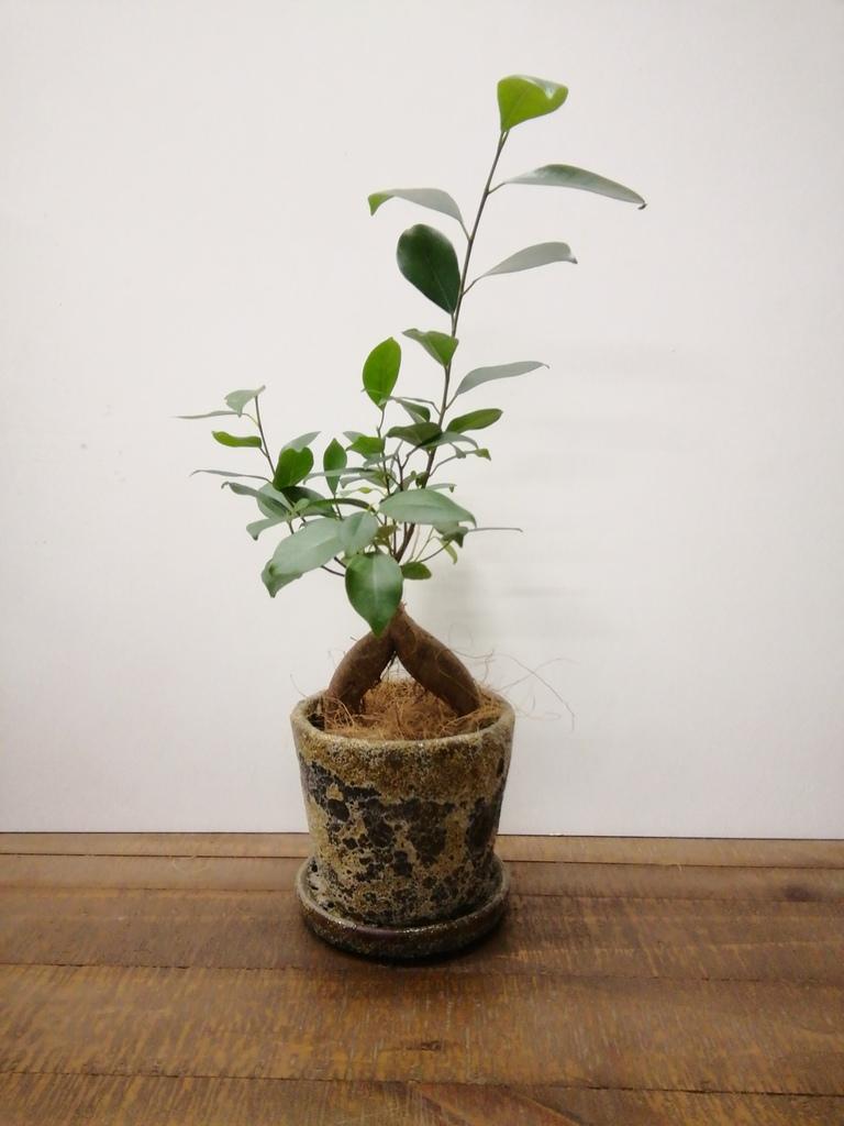 観葉植物 ガジュマル 4号 股仕立て ハレー カーキー 付き