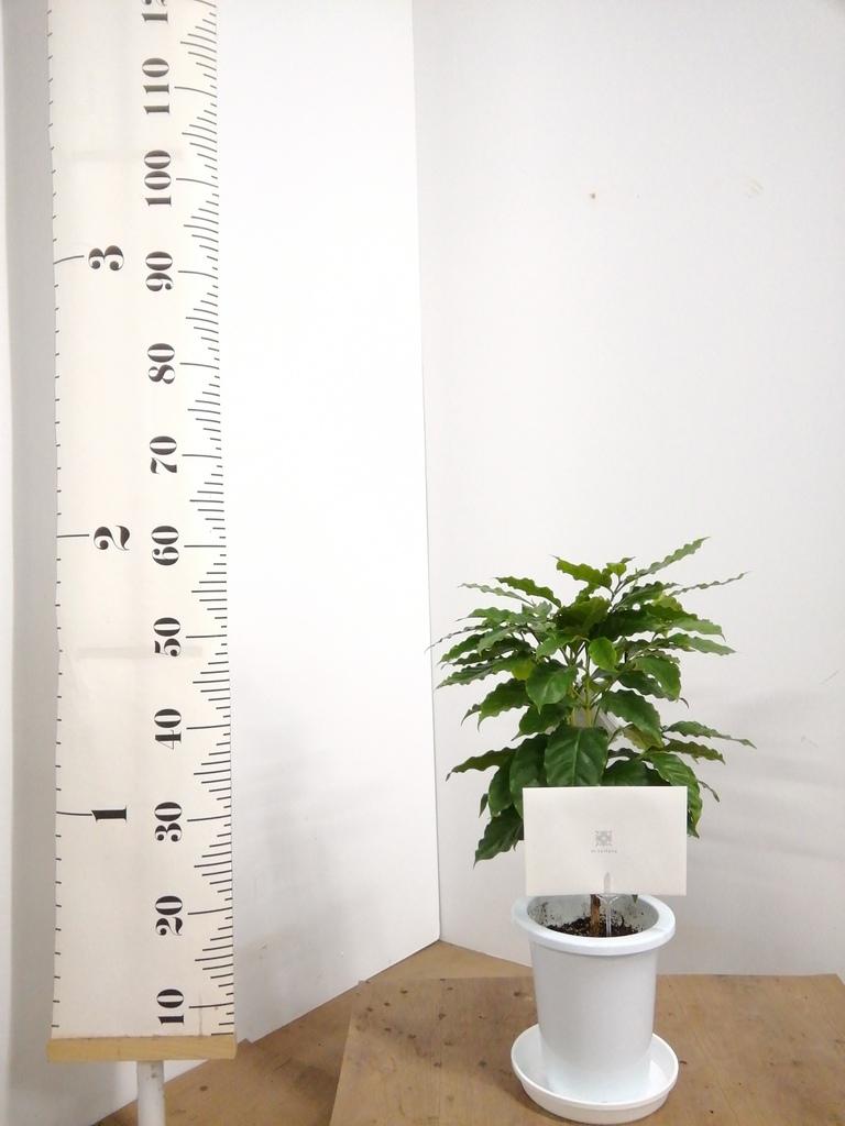 観葉植物 コーヒーの木 6号 プラスチック鉢