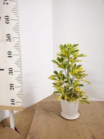 観葉植物 カポック(シェフレラ) 4号 斑入り ラスターポット 付き