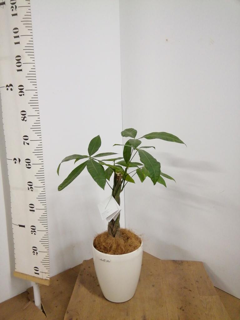 観葉植物 パキラ 6号 ねじり ラスターポット 付き
