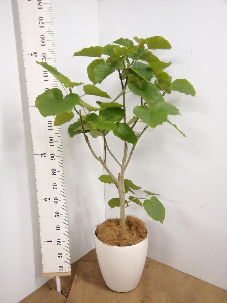 観葉植物 フィカス ウンベラータ 10号 ノーマル ラスターポット 付き