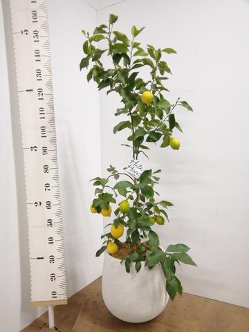 レモンの木 8号 リスボン エコストーンwhite 付き