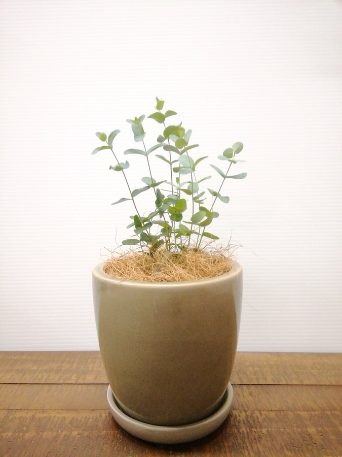 観葉植物 ユーカリ 3号 グニー アステア トール ベージュ 付き