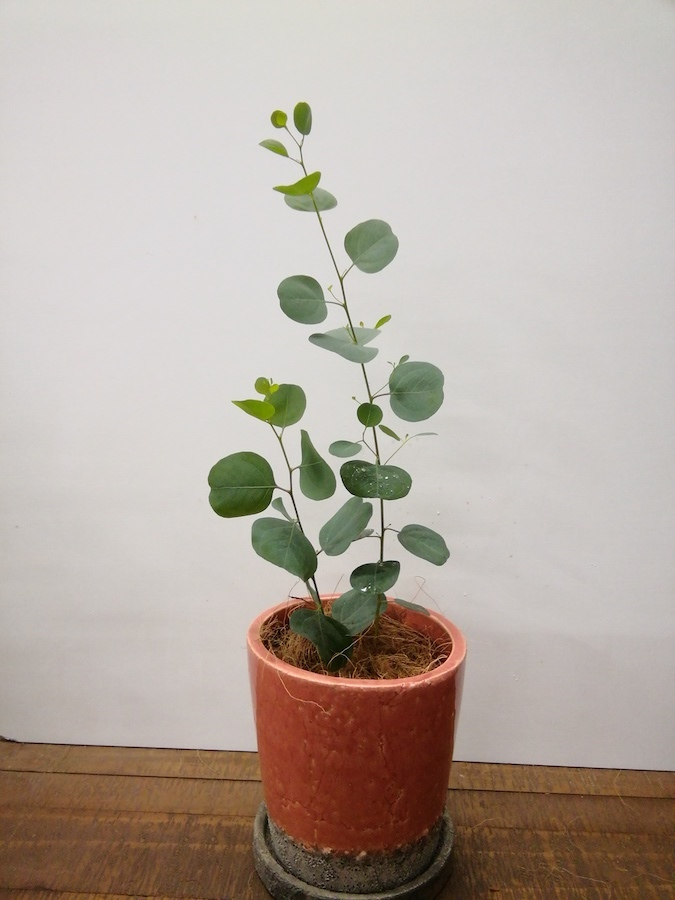観葉植物 【40cm】【鉢カバー付】ユーカリ ポポラス(ポリアンセモス) 3号 #22125