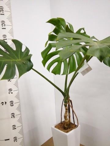 観葉植物 【120cm】【陶器鉢】モンステラ 7号 根上り #22573