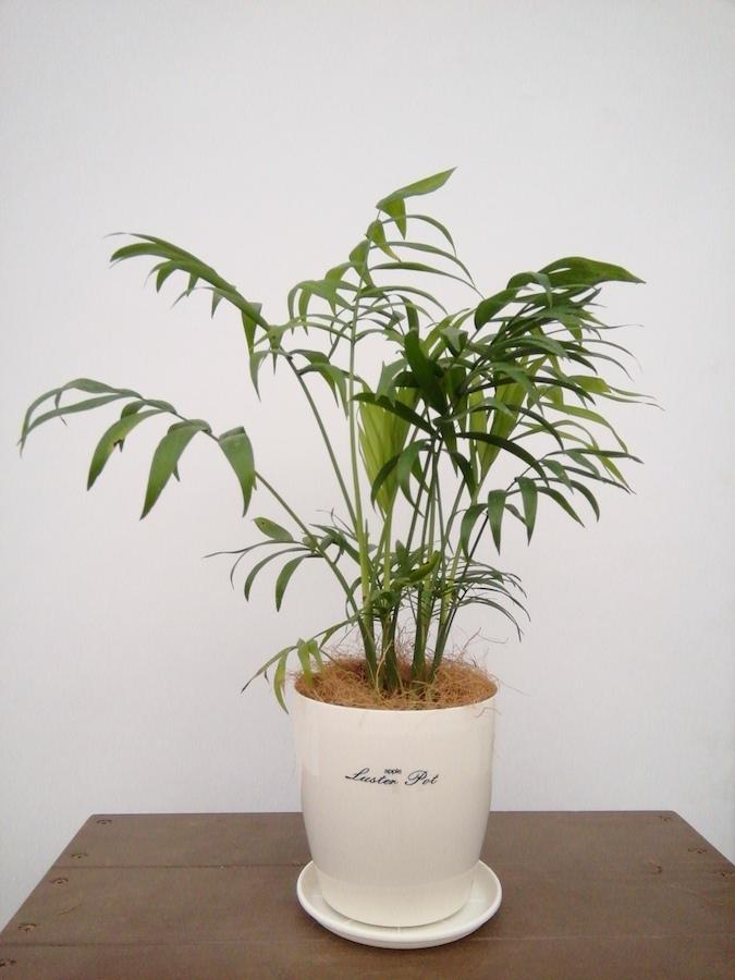 観葉植物   キッチン 観葉植物 2点セット(4号×2)