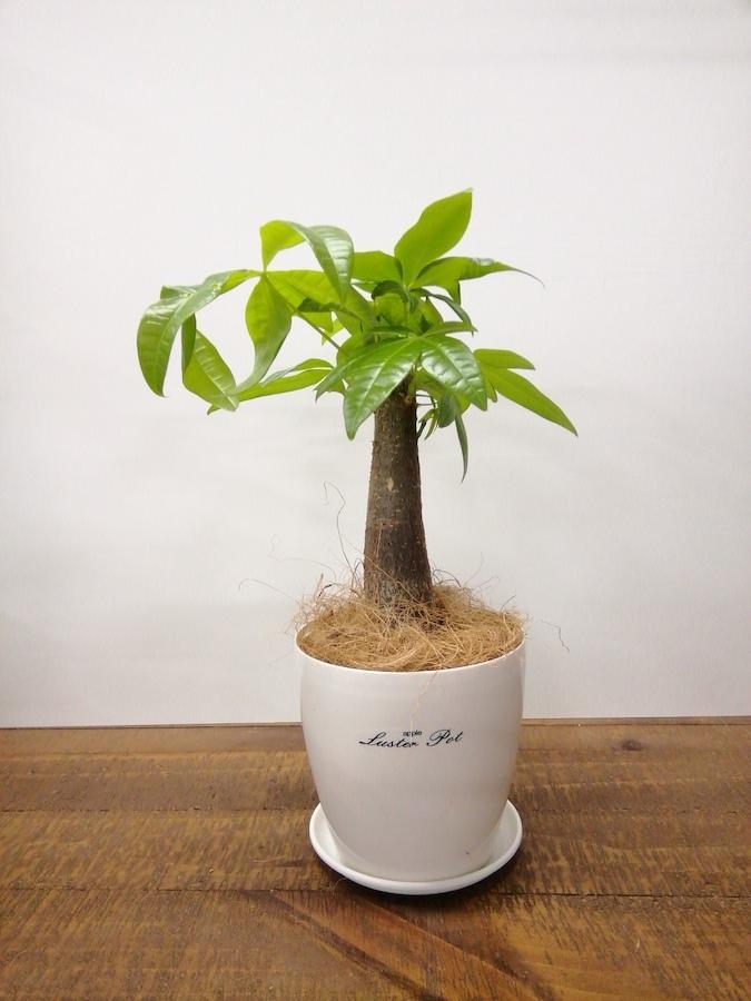 観葉植物 パキラ 4号 朴 ラスターポット 付き