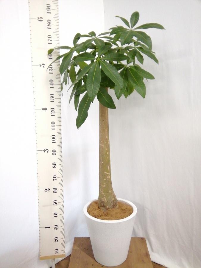 観葉植物 パキラ 10号 朴 フォリオソリッド 白 付き