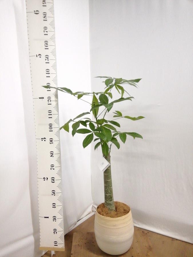 観葉植物 パキラ 8号 朴 ササール 白 付き