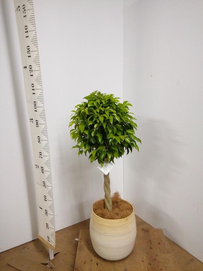 観葉植物 フィカス ベンジャミン 8号 玉造り ササール 白 付き