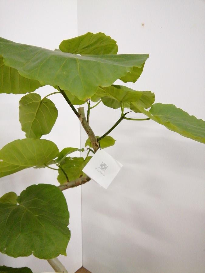観葉植物 【100cm】フィカス ウンベラータ 7号 らせん仕立て #22059