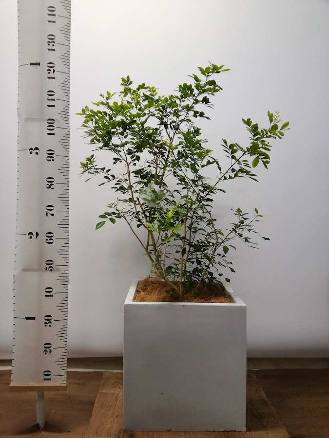 観葉植物 シルクジャスミン 8号 バスク キューブ 付き