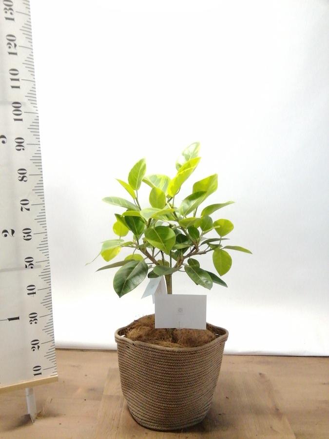 観葉植物 フィカス アルテシーマ 7号 ストレート リブバスケットNatural 付き