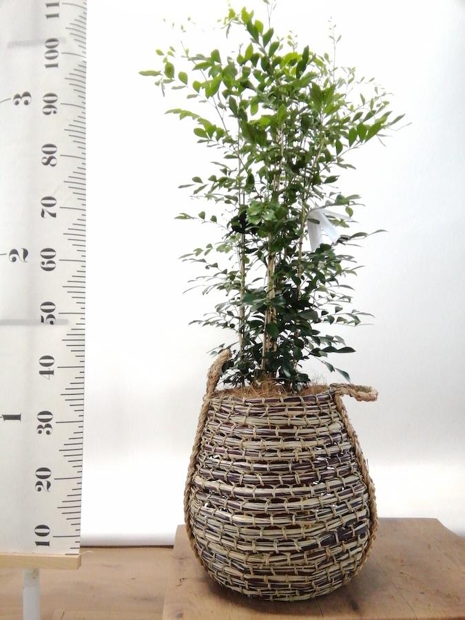 観葉植物 シルクジャスミン 8号 リゲル 茶 付き