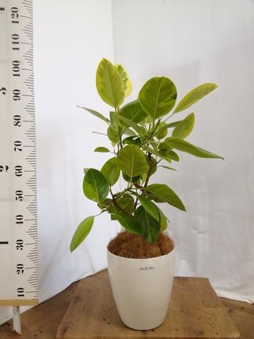 観葉植物 フィカス アルテシーマ 7号 ストレート ラスターポット 付き