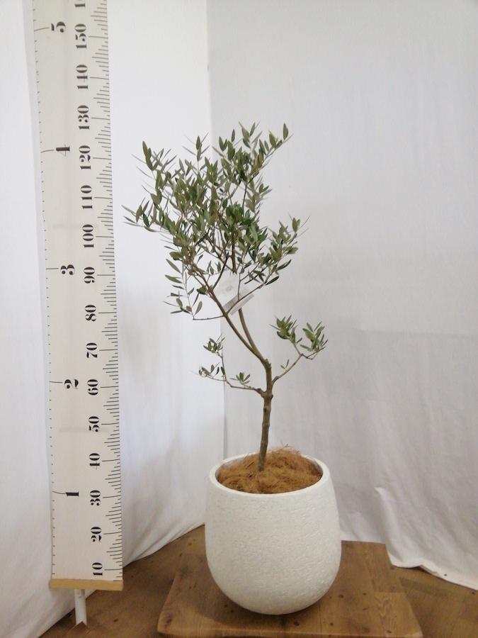 観葉植物 オリーブの木 7号 創樹 エコストーンwhite 付き