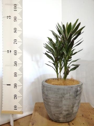 観葉植物 コルディリネ (コルジリネ) サンゴ 7号 アビスソニアミドル 灰 付き